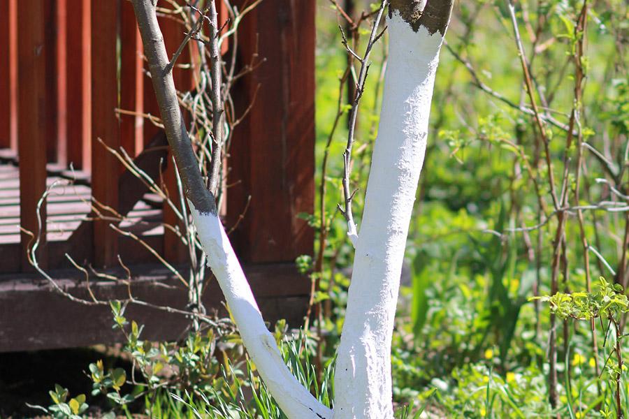 Po co i w jakim celu bielimy drzewa? Odpowiedź znajdziesz w tym artykule.